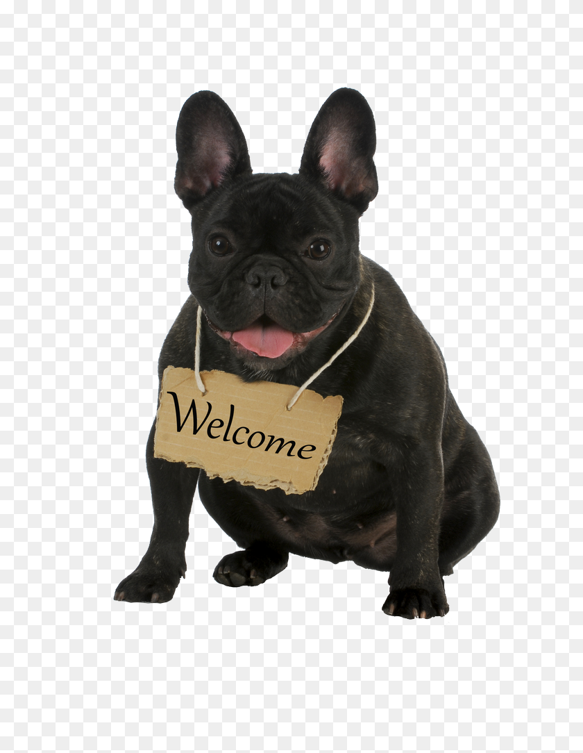 Allevamento Bulldog Francese Casa Dei Felsinei Bouledogue Francese - Bulldog PNG