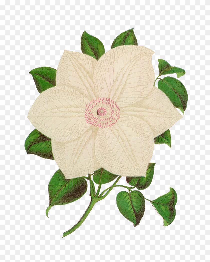 Antique Images Antique Stock Flower Illustration Botanical Clip - Clematis Clipart