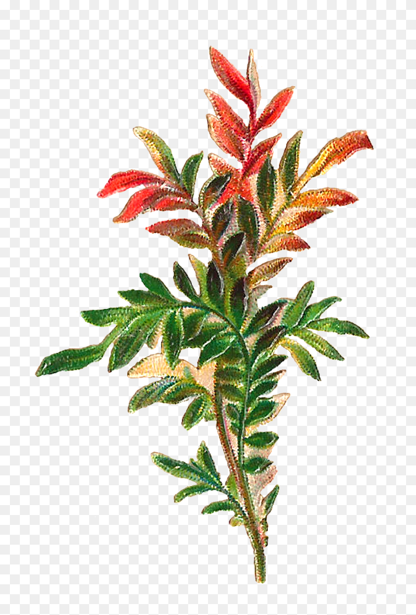 Antique Images Forest Plant Leaves Botanical Antique Artwork - Moss Clipart