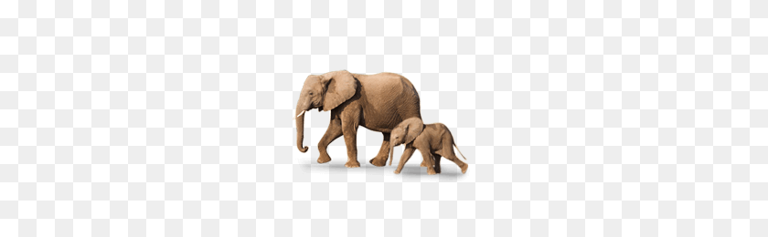 200x200 Baby Elephant Is Called As Calf Picture Baby Animals Learning - Baby Elephant PNG