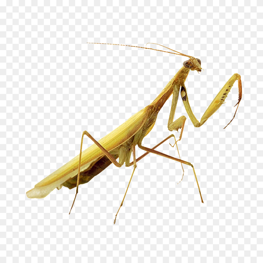 1024x1024 Beautiful Physical Pattern Insect Png Free Png Download Png - Mantis PNG
