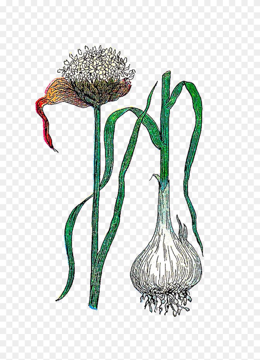 Botanical Clip Art - Garlic Clipart