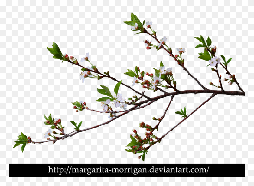 900x640 Branch Of Cherry Blossoms - Cherry Blossom Branch PNG