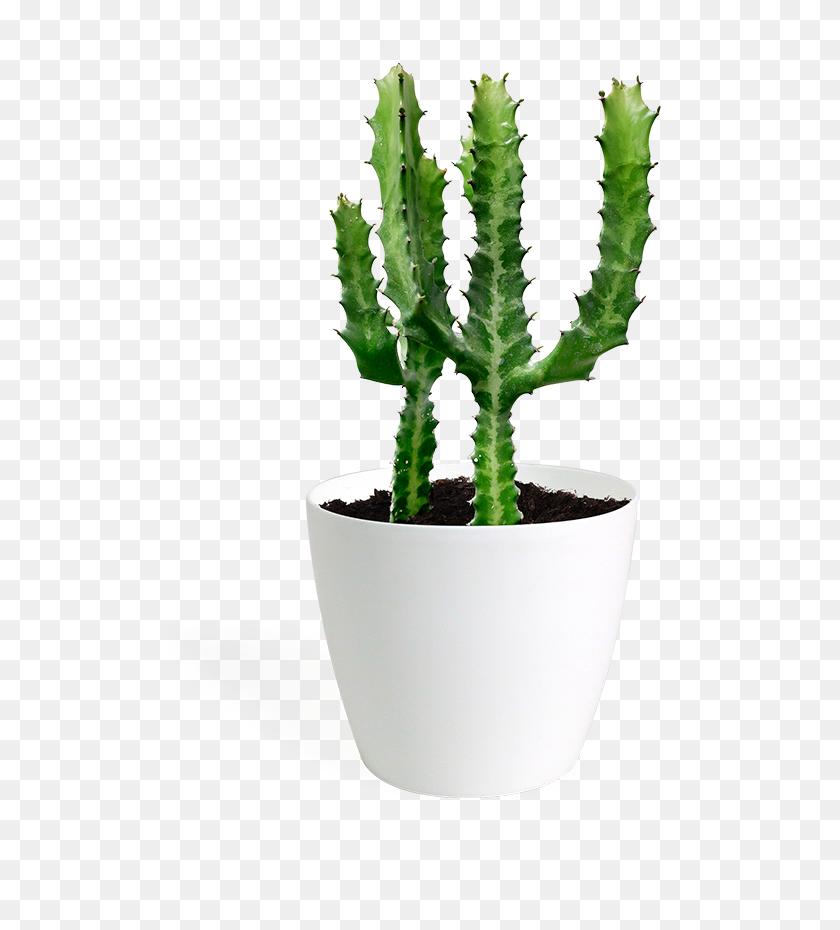 Cacti Succulents - Succulent PNG