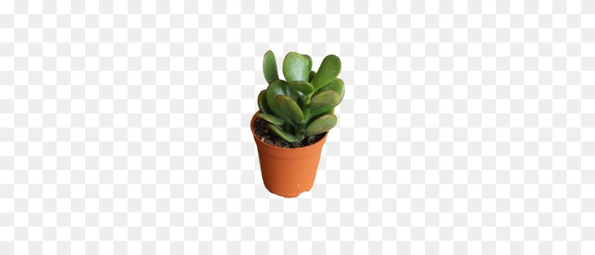 Cacti Succulents - Succulents PNG