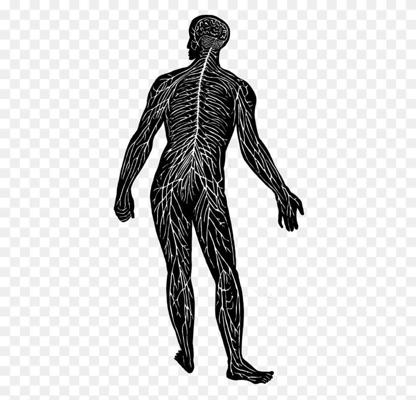 Central Nervous System Nerve Human Body Peripheral Nervous System - Nervous Clipart