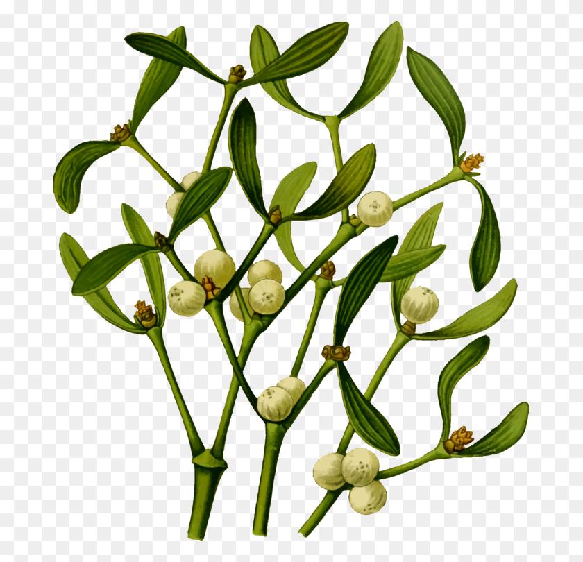 Christmas Mistletoe Viscum Album Plants - Photo Album Clipart