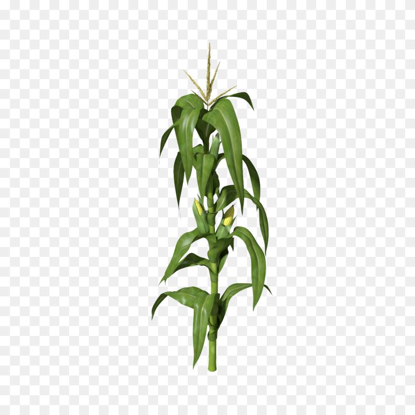 Corn Stalks Png Png Image - Corn Stalk PNG