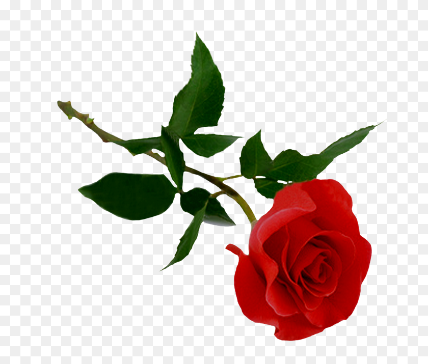 Cosas Para Photoscape Para Photoscape, Photoshop Y Gimp - Rosas Rojas PNG
