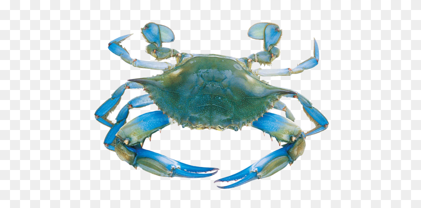 500x356 Crabs Wallpapers Blue Crabs - Blue Crab Clip Art