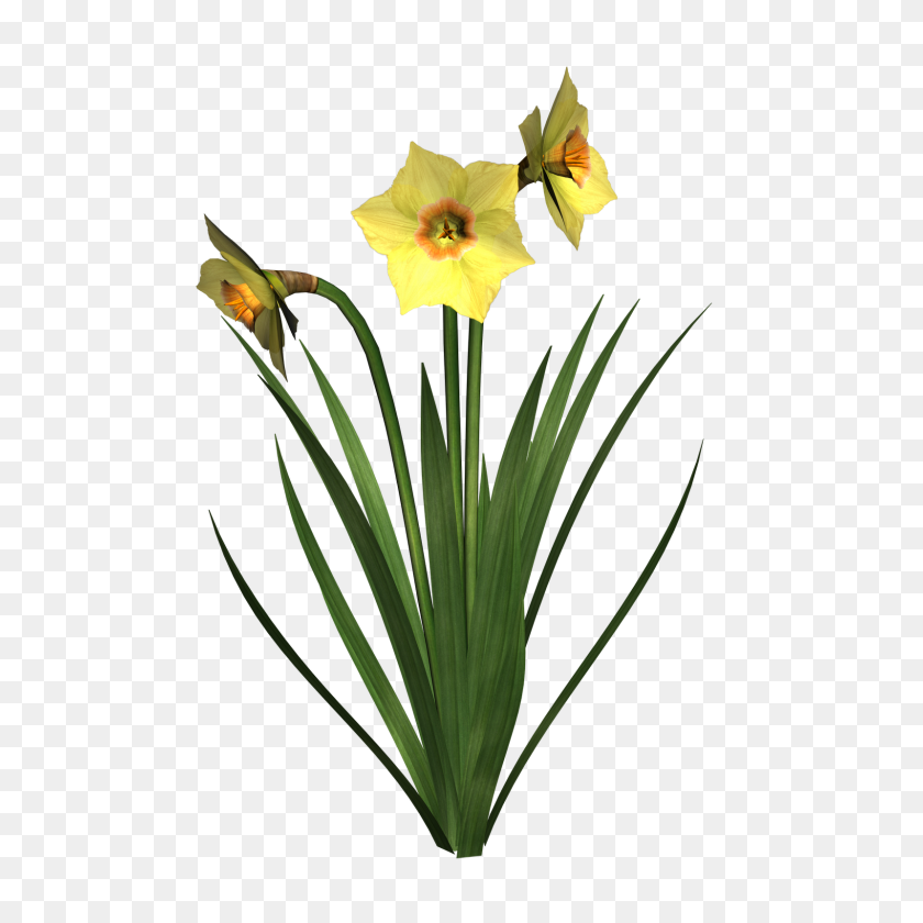 1600x1600 Daffodils Png Transparent Images - Plant PNG