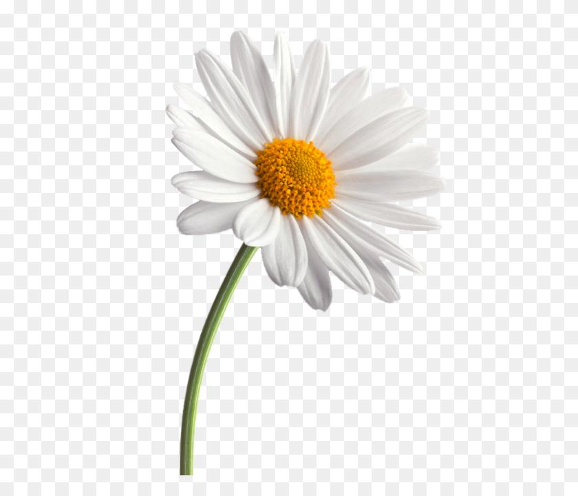 Daisies Png Free Download Png Arts - Daisy PNG