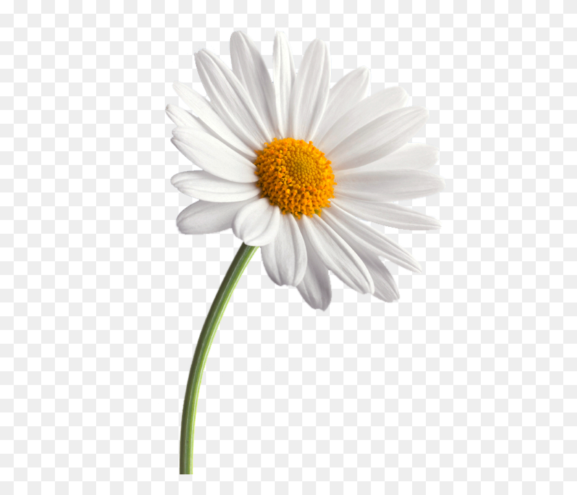 Daisy White Background Images All White Background - White Daisy PNG