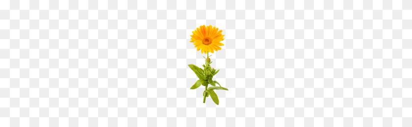 Download Marigold Free Png Photo Images And Clipart Freepngimg - Marigold PNG