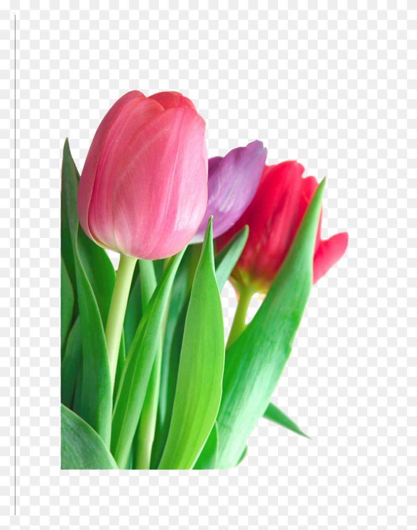 Download Png Tulip Clipart Indira Gandhi Memorial Tulip Garden - Tulip Images Clip Art