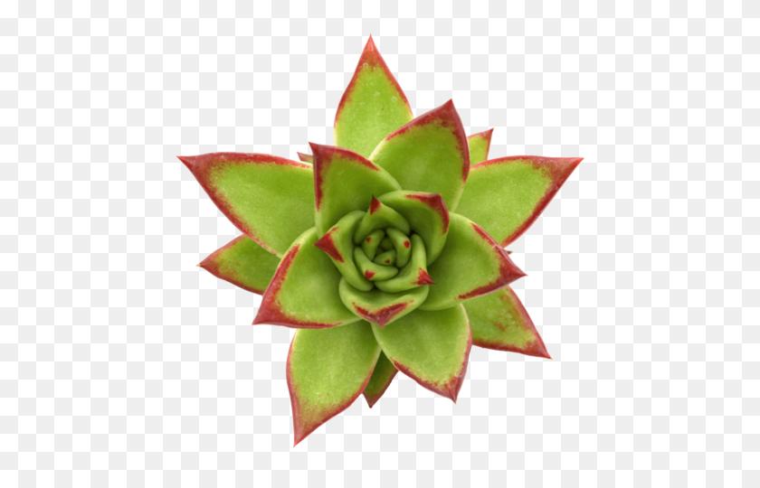 Echeveria Agavoides 'lipstick' Succulents - Succulents PNG