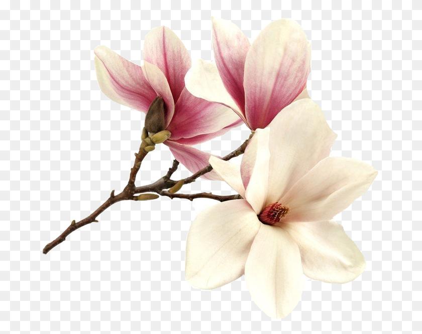 670x606 Flower Magnolia Magnolie Magnolias Tree Pink Summer Fre - Magnolia Tree PNG