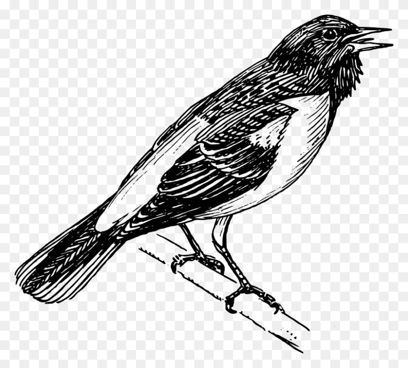 Free Clipart Baltimore Oriole Papapishu - Mockingbird Clipart
