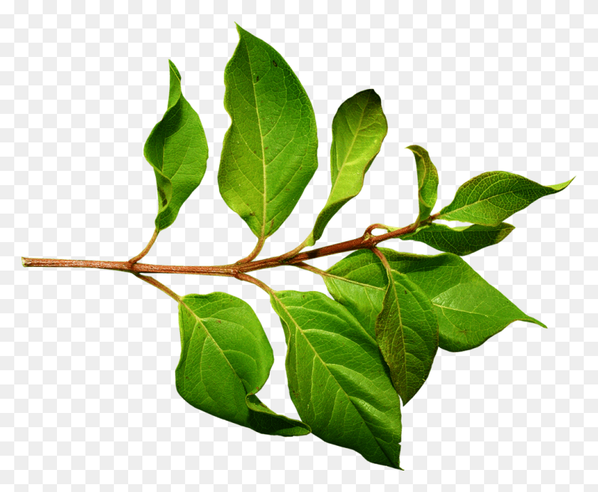 Leaf Branch Silhouette Clipart, HD Png Download - kindpng
