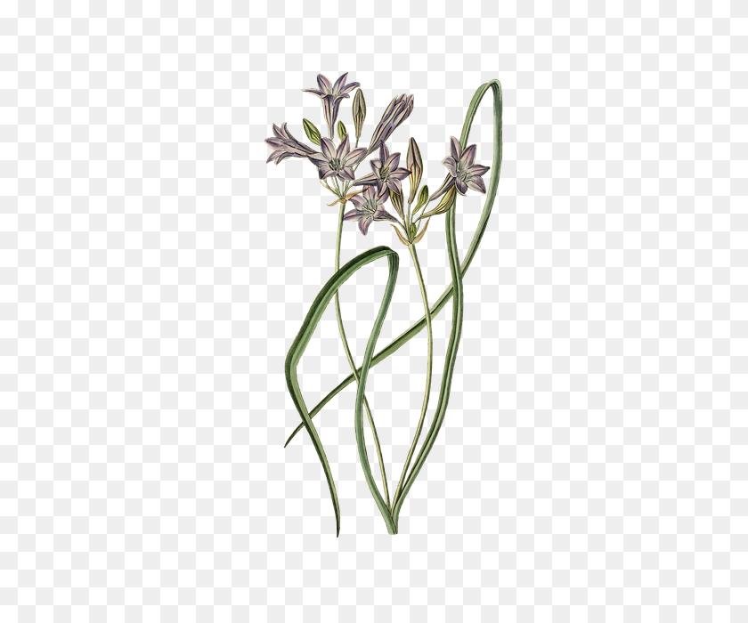 385x640 Free Photo Leek Flower Bloom Plant Ornamental Onion Blossom - Ornamental Grass PNG