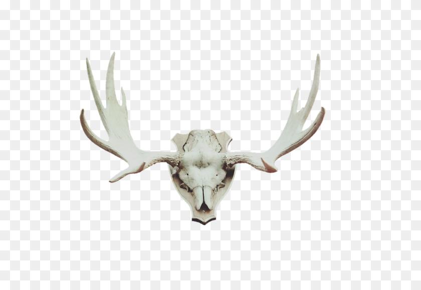 Free Photo Moose Antler Deer Antler Trophy Hunting Antler - Antler PNG