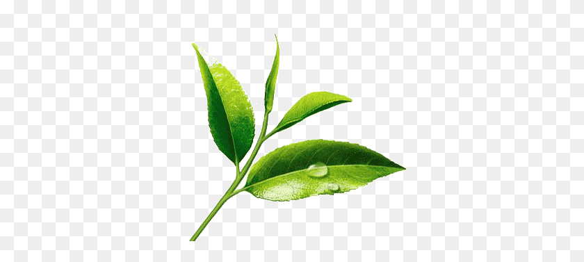 Fresh Tea Leaves Png Tea Leaves Png Stunning Free Transparent Png Clipart Images Free Download
