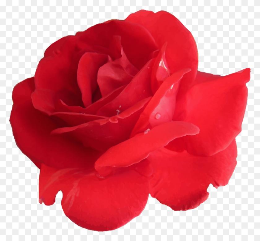 Garden Roses Cabbage Rose Floribunda China Rose Petal Free - Rose Petal PNG