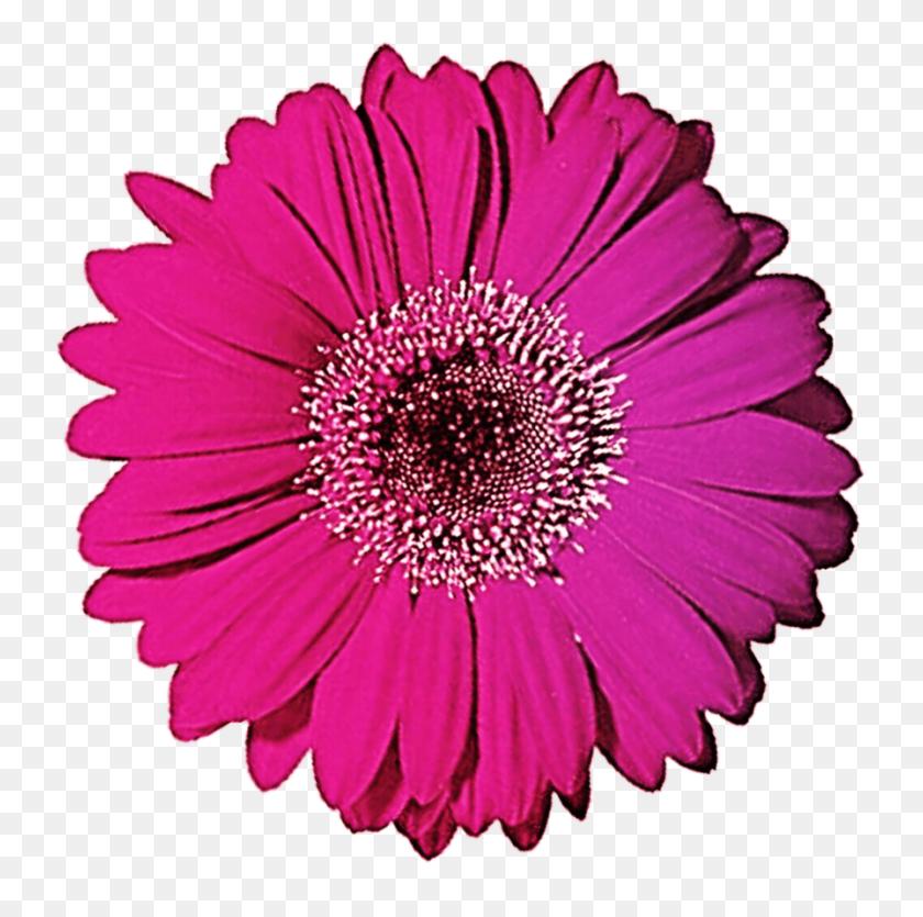 Gerbera Gerber Daisy Clip Art - Gerber Daisy Clip Art
