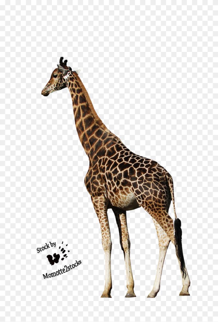 Giraffe Hd Png Transparent Giraffe Hd Images - Giraffe PNG