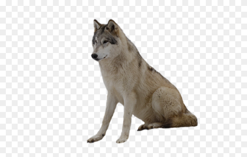 Gray Wolf Png Hd Transparent Gray Wolf Hd Images - Wolf Head PNG