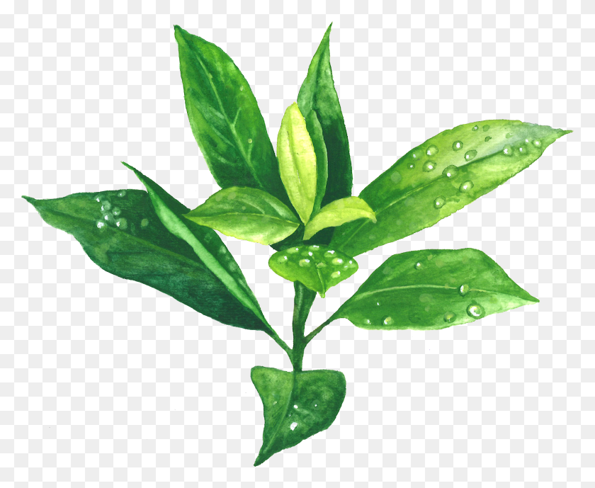Free PNG Tea Leaf Clip Art Download - PinClipart