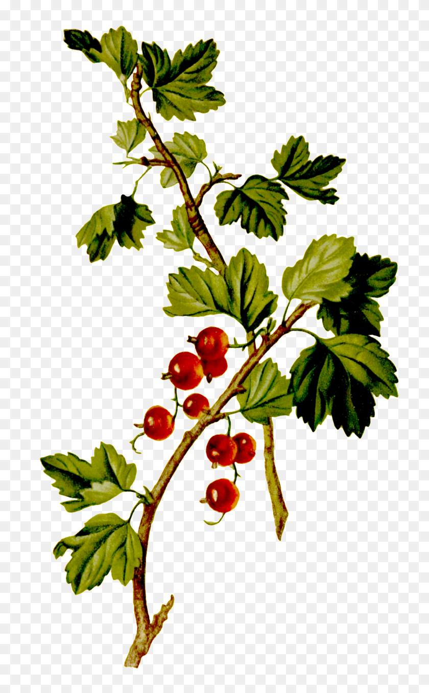 Red fruit-bearing tree, Tree Flower Shrub, shrubs, branch, garden,  pomegranate png | Klipartz