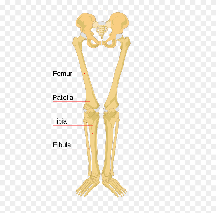 Human Leg Bones Labeled - Bones PNG