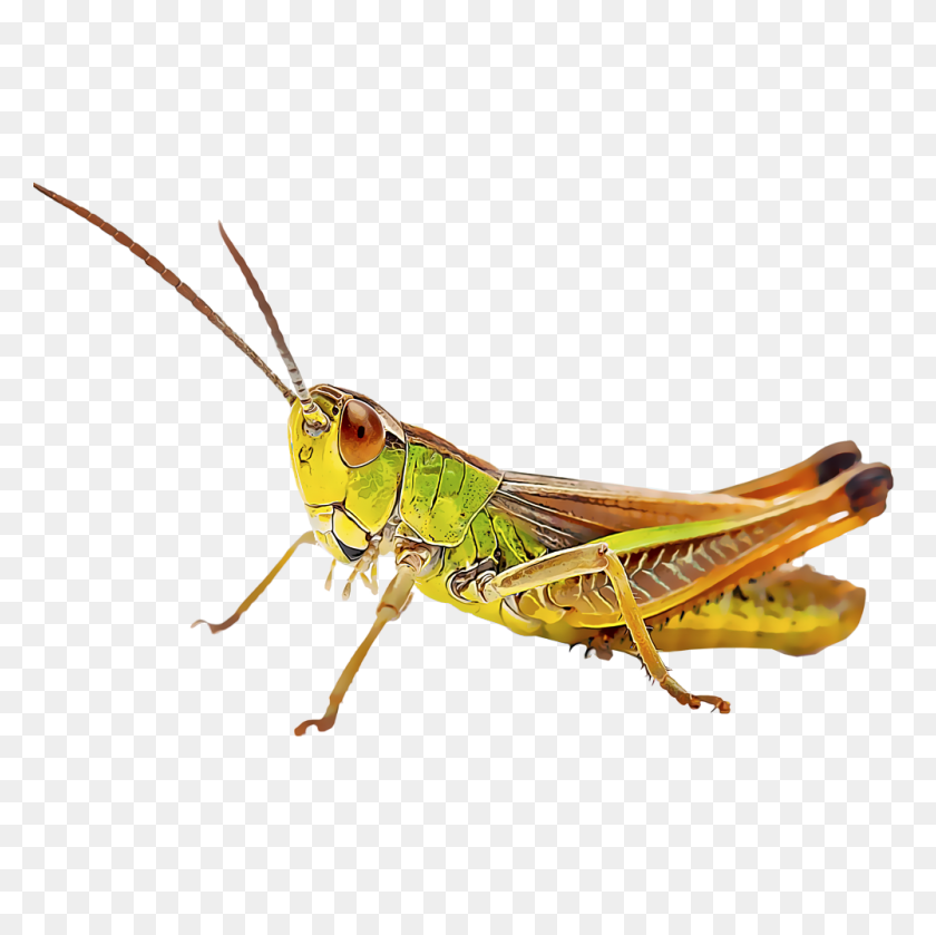 Identify And Control Grasshoppers - Grasshopper PNG