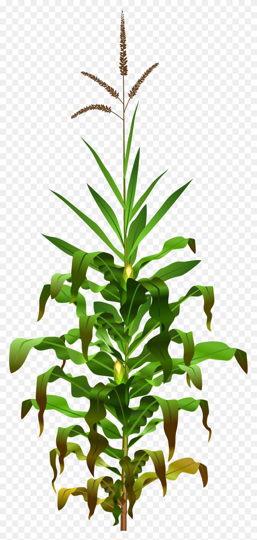 Jowar Plant Png Transparent Jowar Plant Images - Plant PNG
