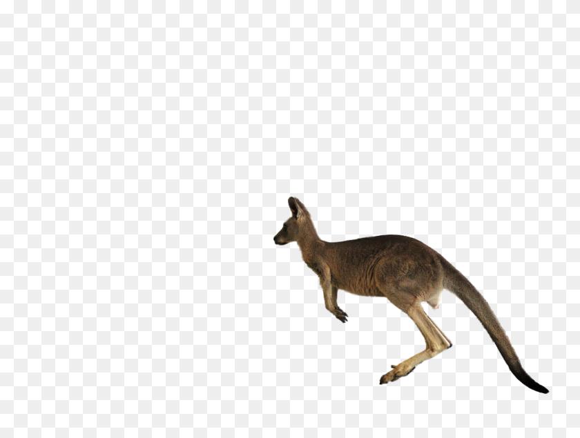 Jumping Kangaroo Png Transparent Jumping Kangaroo Images - Kangaroo PNG