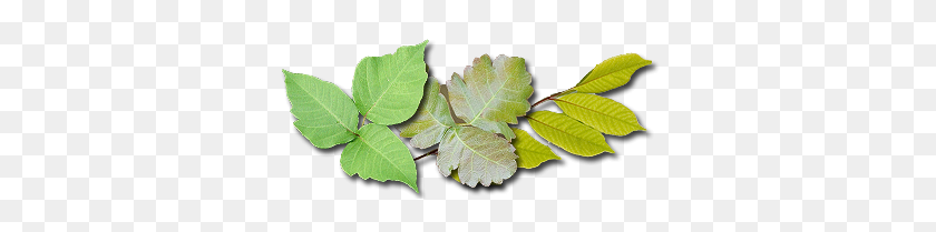 Kids Safety Poison Ivy - Poison Ivy PNG