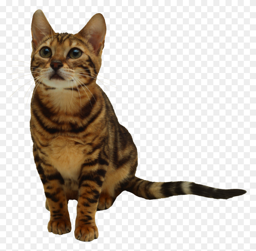 Kitten Png Images Transparent Free Download - Kittens PNG