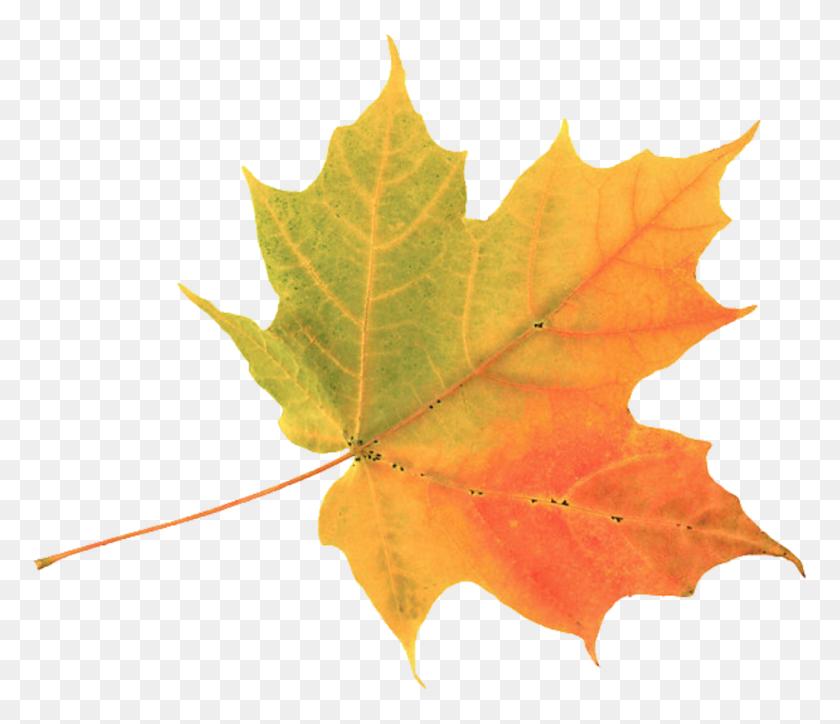 Leaf Clipart Autumn Leaf Color Maple Autumn Leaf Clip Art Png - Watercolor Cactus Clipart