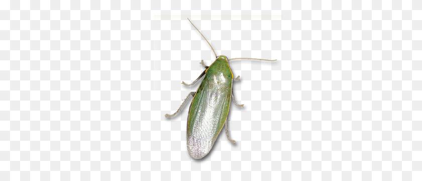 Learn About Cuban Roachs Cuban Roach Identification Hulett - Roach PNG