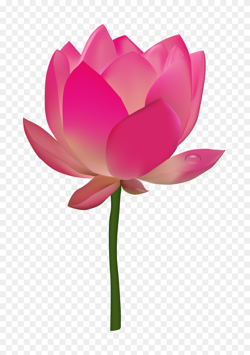 2200x3200 Lotus Flower Png Hd Transparent Lotus Flower Hd Images - Pink Flowers PNG