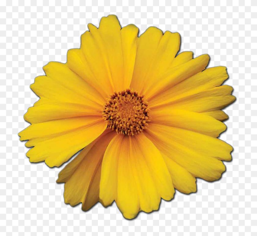 Marigold Essence Guiding Light Sister Spinster - Marigold PNG