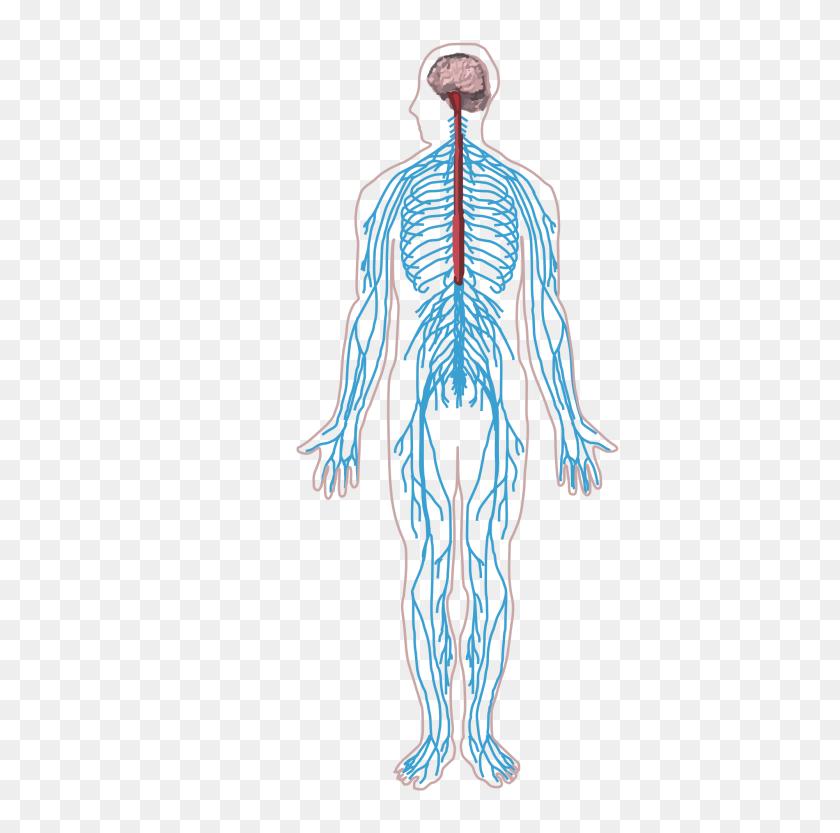 Nervous System - Nervous System Clipart