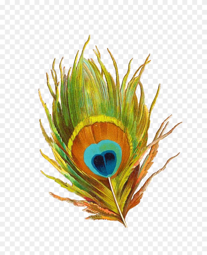 Peacock Feather Clip Art - Peacock Feather Clipart
