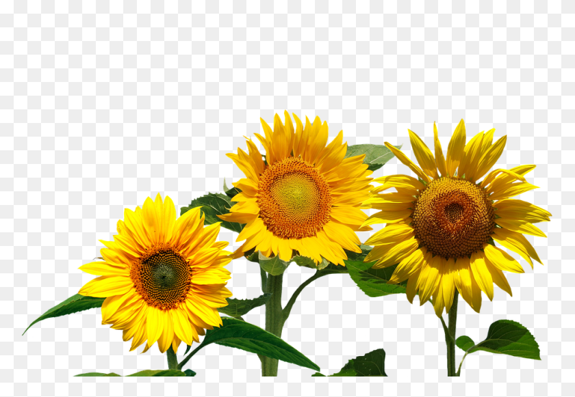 Peel N Stick Poster Of Garden Sunflower Nature Summer Flowers Late Summer Flowers Png Stunning Free Transparent Png Clipart Images Free Download