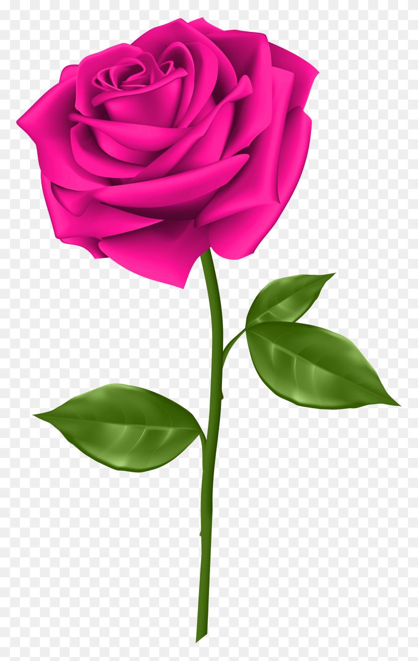 3689x6000 Pink Rose Transparent Png Clip - Pink Rose Clipart