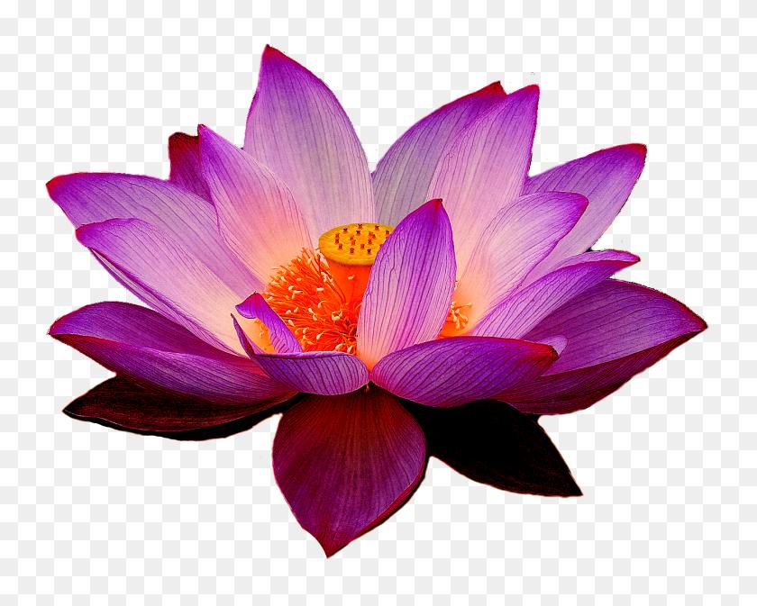 Png Lotus Flower Transparent Lotus Flower Images - Real Flowers PNG
