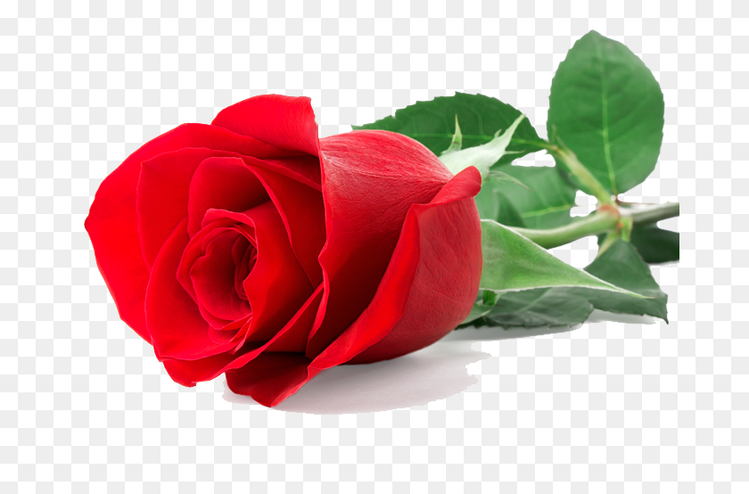 Png Single Flower Transparent Single Flower Images - Single Rose PNG