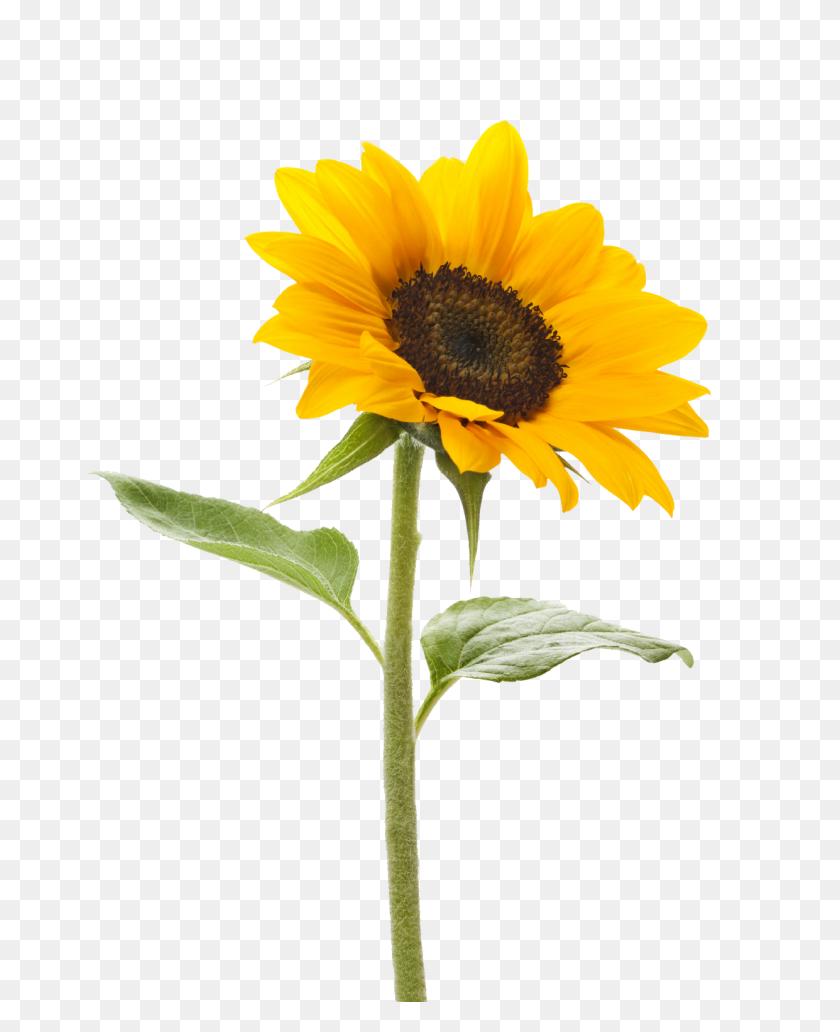 Png Sunflower Transparent Sunflower Images - Sunflower Emoji PNG