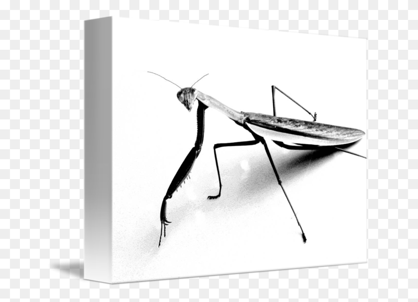 Praying Mantis Pencil Sketch Praying Mantis Png Stunning Free